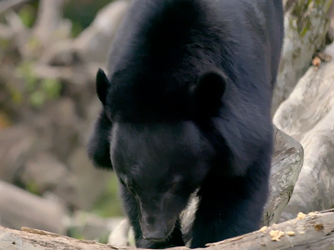 WRS Bears